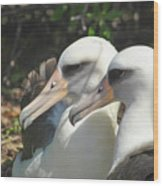 Albatross Lovers Wood Print