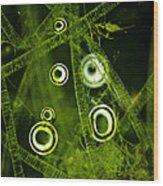 Algae Spirogyra Sp., Lm Wood Print