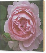 Alnwick Rose 1830 Wood Print