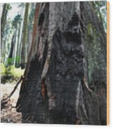 Alta Vista Giant Sequoia Wood Print