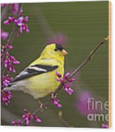 American Goldfinch In Redbud Wood Print