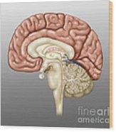 Anatomy Of The Brain, Illustration Wood Print