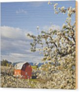 Apple Blossom Trees And A Red Barn In Wood Print