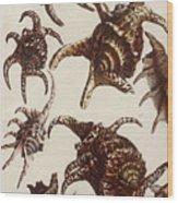 Aquatic Animals - Conch - Shells - Snails Wood Print