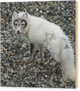 Arctic Fox Wood Print
