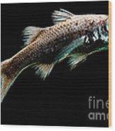 Atlantic Pelagic Basslet Wood Print
