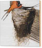 Audubon: Swallow Wood Print