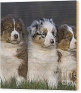 Australian Shepherd Puppies Wood Print