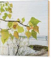 Backlit Poplar Leaves Wood Print