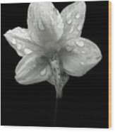Backside Daffodil Dew Wood Print