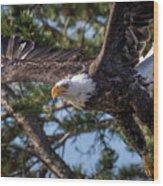 Bald Eagle Launch Wood Print