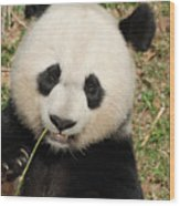 Bamboo Sticking Out Of The Mouth Of A Giant Panda Bear Wood Print