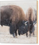 Battle Of The Bison In Rut Wood Print