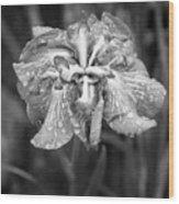 Bellevue Botanical Garden Iris 6402 Wood Print