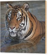 Bengal Tiger Laying In Water Wood Print