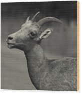 Big Horn Sheep Wood Print by Barbara Schultheis