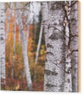 Birch Trees Fall Scenery Wood Print