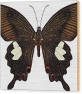 Black And Brown Butterfly Species Papilio Nephelus Wood Print