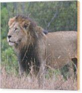 Black Maned Lion Wood Print