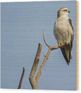 Black Winged Kite  Wood Print