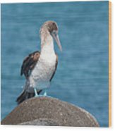 Blue-footed Booby On Rock Wood Print