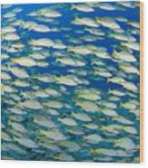 Bluestripe Snapper Wood Print