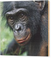 Bonobo Pan Paniscus Portrait Wood Print