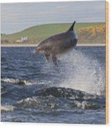 Bottlenose Dolphin - Scotland  #14 Wood Print