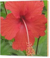 Bright Red Hibiscus Wood Print