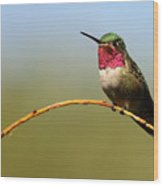 Broad-tailed Hummingbird Bending A Willow Low Wood Print