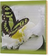 Butterfly On White Wood Print