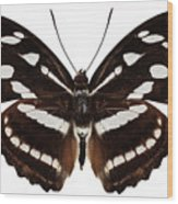 butterfly species Athyma reta moorei Wood Print