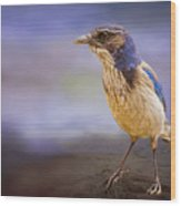 Blue Scrub Jay Wood Print