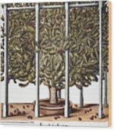 Cactus: Opuntia, 1613 Wood Print