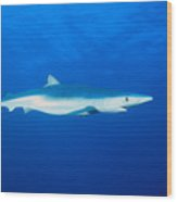 California, Blue Shark Wood Print