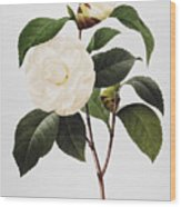 Camellia, 1833 Wood Print