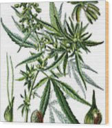 Cannabis Sativa Wood Print