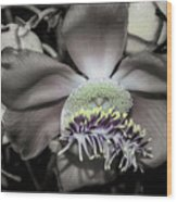 Cannonball Flower Wood Print