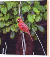 Cardinal Twigging A Break Wood Print