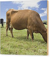 Cattle Grazing Wood Print