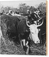 Cattle: Longhorns Wood Print