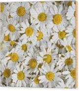 Chamomile Flowers Wood Print