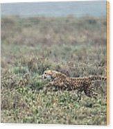 Cheetah Acinonyx Jubatus Hunting Wood Print