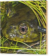 Chilean Widemouth Frog Wood Print