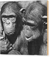 Chimpanzees Wood Print
