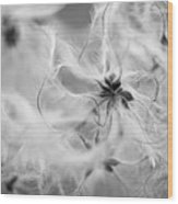 Clematis Vitalba Wood Print