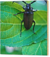 Climbing Beetle Wood Print