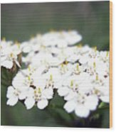Close-ups Of A White Meadow Flower Wood Print