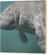 Close View Of A Manatee Wood Print by Nick Norman