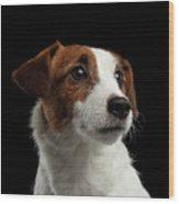 Closeup Portrait Of Jack Russell Terrier Dog On Black Wood Print
